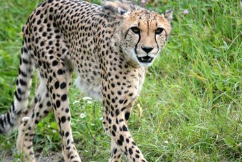 Cheetah on green grass - image gratuit #229509