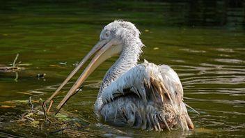 Pelican - Kostenloses image #229519