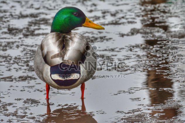Pato en agua con hielo -  image #271939 gratis