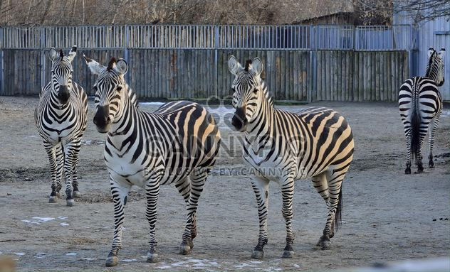 Zebras in the zoo - Free image #271989