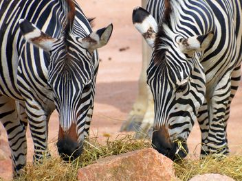 Zebras in the zoo - Free image #271999