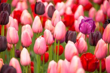Pink tulips - Free image #272909