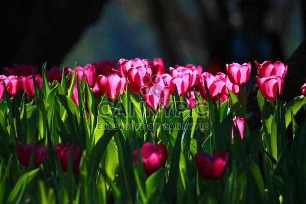 tulipes roses - image gratuit #272919