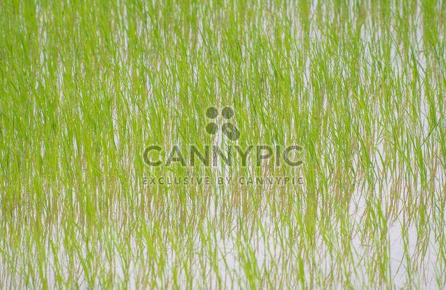 Рисовые поля - бесплатный image #272929
