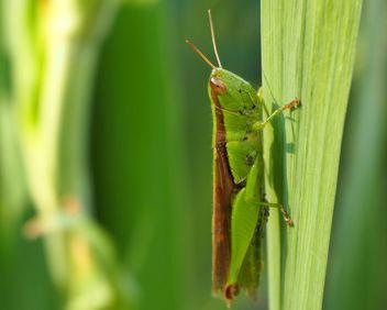 Grasshopper - image gratuit #272939