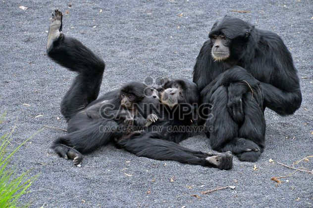 Family of gibbons - Free image #273009
