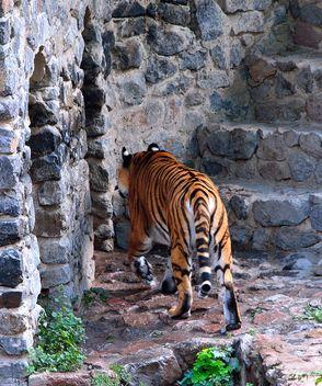 Tiger - image gratuit #273609
