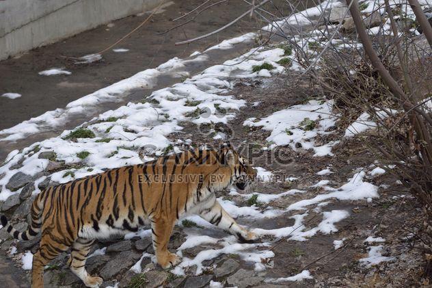 Ussuri-tiger - Free image #273619