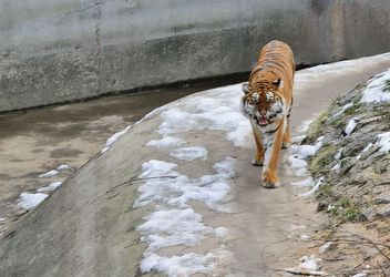 Ussuri tiger - Kostenloses image #273629