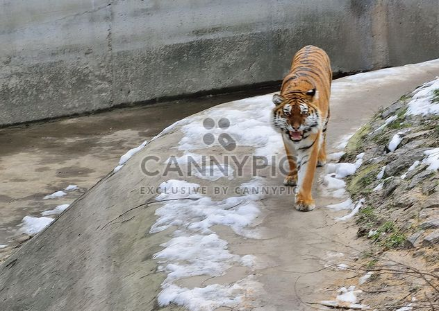 Уссурийский тигр - Free image #273629