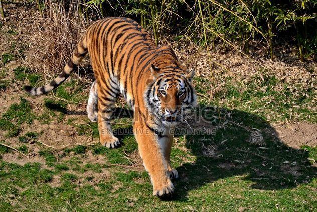 Тигр в парке - Free image #273649