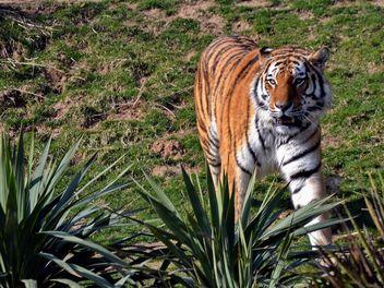 Tiger - Free image #273659