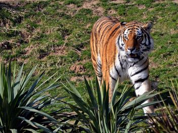 Tiger - Kostenloses image #273659