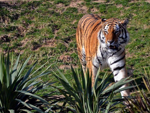 Тигр - бесплатный image #273659