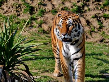 Tiger - image gratuit #273669