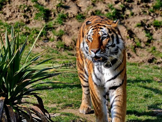 Tigre - Free image #273669
