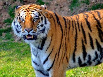 Tiger - image #273679 gratis