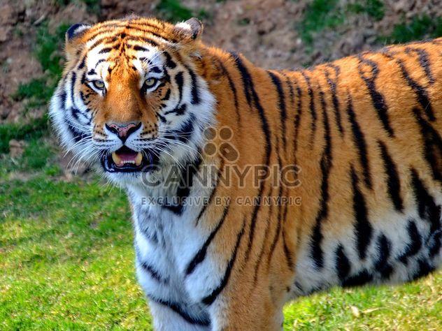 Tigre - image gratuit(e) #273679