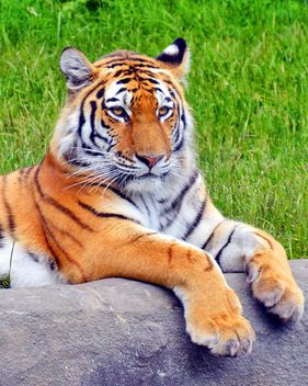 Tiger - image #273739 gratis