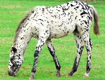 Dalmation Horse ! - image gratuit #275519