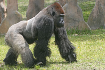 Silverback Gorilla - Kostenloses image #275579