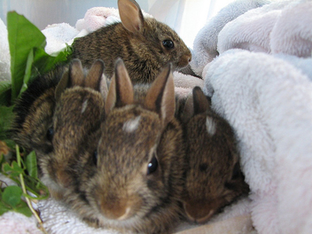 Wild Baby Bunnies Rehabbers - Free image #275609