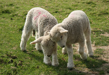lamb fight - Free image #275619