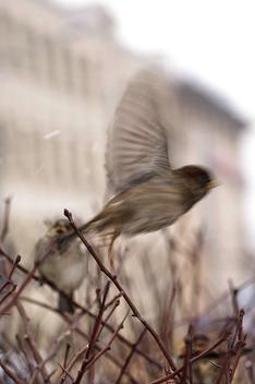 Sparrow - Free image #275699