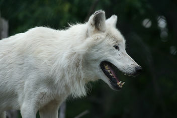 Hungry Arctic Wolf - Free image #275809