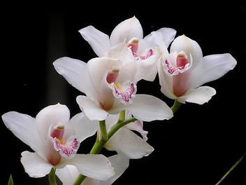 white orchids - Free image #275869