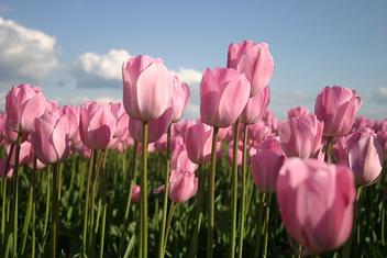 Pink Tulips - image gratuit #276039
