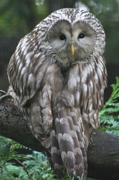 Ural Owl - image gratuit #276099