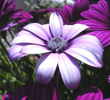 violet - бесплатный image #276269