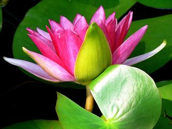 Lotus - бесплатный image #276509