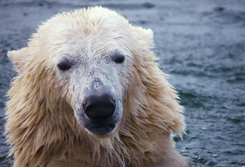 Polar bear - image gratuit #276749