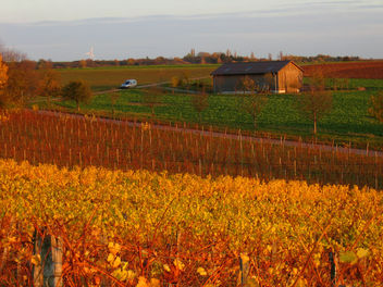 Flaming vineyards in Franconia (Franken) - Free image #277009
