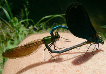 the romantic story of two damselflies, called Calopterix virgo or beautiful demoiselles, making love...on my knee - image #277119 gratis