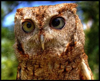 Screech Owl - image gratuit #277169