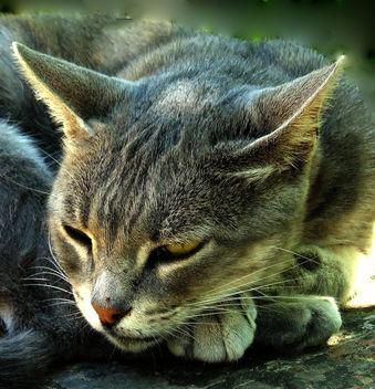Cat - image #277379 gratis