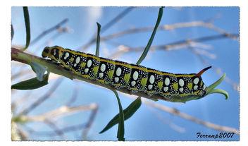oruga - Hyles euphorbiae (larva) - image #277569 gratis