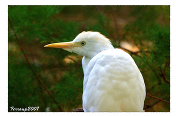 BIRDS IN WHITE - OCELLS EN BLANC Esplagabous - garcilla bueyera - cattle egret - bubulcus ibis - image #277579 gratis