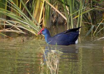polla blava - calamon - purple swamp-hen - porphyrio porphyrio - Free image #277719