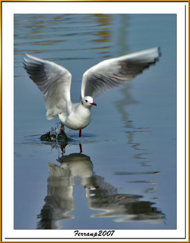 Gavina vulgar 03 - Gaviota reidora - Black-headed gull - Larus ridibundus - Free image #277769