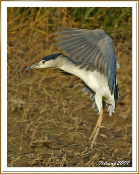 martinete en vuelo 06 - martinet de nit volant - nigth heron in fligth - nycricorax nycticorax - image gratuit #277799