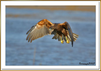 arpella vulgar 18 - aguilucho lagunero - marsh harrier - circus aeruginosus - Free image #277839