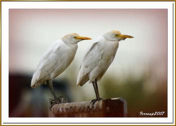 Esplugabous 02 - Garcilla bueyera - Cattle egrett - bubulcus ibis - Free image #277859
