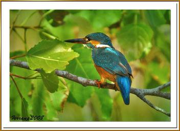 blauet 16 - martin pescador - king fischer - alcedo atthis_filtered - Free image #277909