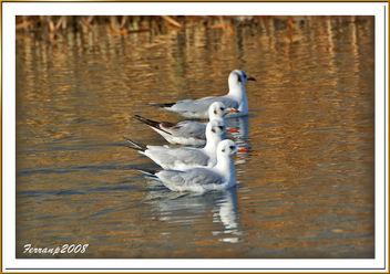 Gavina vulgar 09 - Gaviota reidora - Black-headed gull - Larus ridibundus - Free image #277949