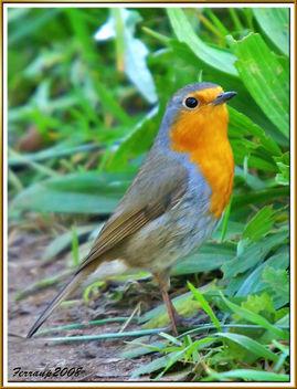 pit-roig 07 - petirrojo - robin - erithacus rubecula - Free image #277959
