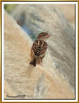 pardaleta 02 - gorrioncilla - house sparrow - passer domesticus - Free image #278029
